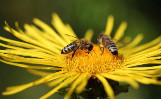Strokovno besedišče čebelarstva je posebno po tem, da ima zelo malo prevzetih besed.FOTO: Mavric Pivk/delo