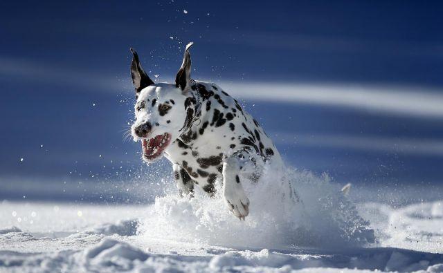 V globokem snegu psa ne spuščajte s povodca. FOTO: Matej Družnik, Delo
