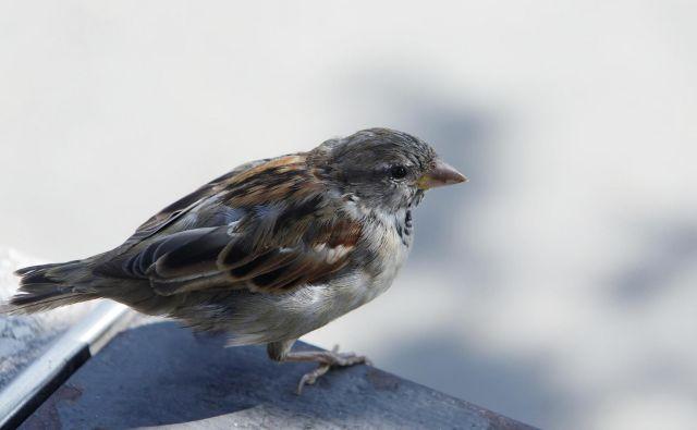 Vrabci so bili lani najbolj pogosto opaženi. FOTO: Leon Vidic/Delo