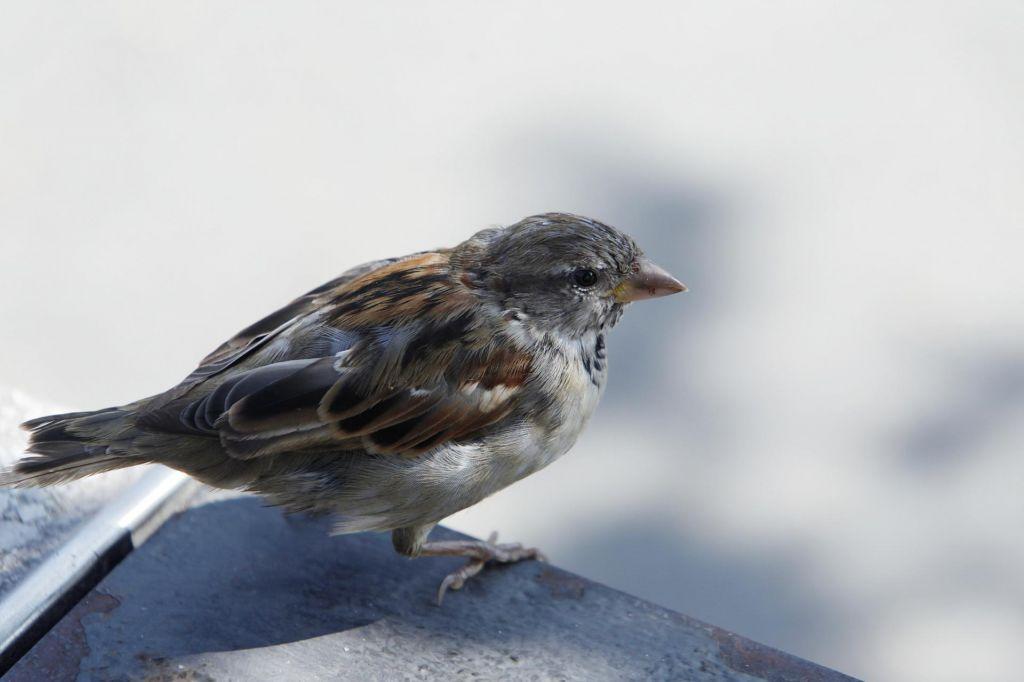 Pomagajte z opazovanjem ptic