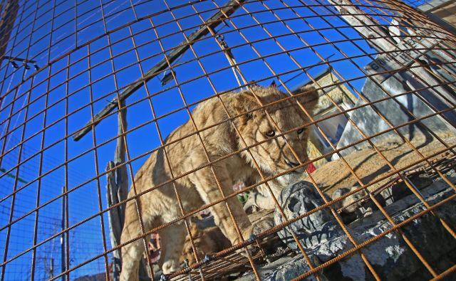 Artur in Cezar, levja mladiča iz Mini živalskega vrta v Slovenskih Konjicah; v divjini bi poginila, pravijo. FOTO: Tadej Regent/Delo