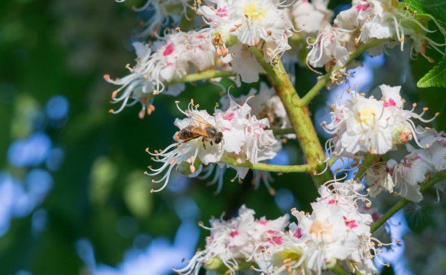 Čebela na kostanjevih cvetovih. FOTO: Shutterstock