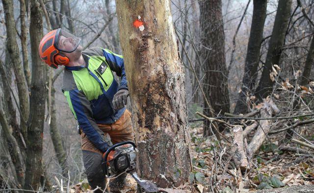 Podiranje dreves na Rožniku FOTO: Tomi Lombar/Delo