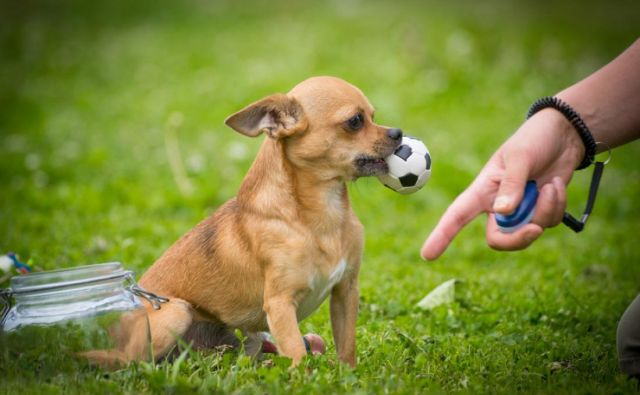 Čivave so zelo samosvoje, a pametne in hitro učljive. FOTO: Shutterstock