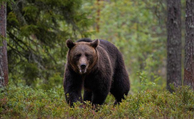 »Pripravljeni smo dati medveda vsaki državi, ki zanj zaprosi, težava pa je, da prav velikega zanimanja zanje ni,« pravi Peter Skoberne. FOTO: Shutterstock