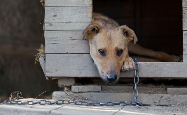 Žalostna podoba psa na verigi. FOTO: Shutterstock
