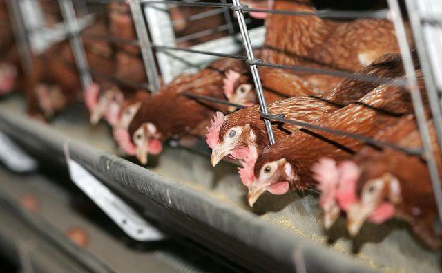 Samih kokoši navzočnost človeških proteinov v njihovem telesu ne prizadene, tudi živijo bolje kot kokoši v baterijski reji, saj pač valijo jajca kot običajno.FOTO: Mavric Pivk/Delo