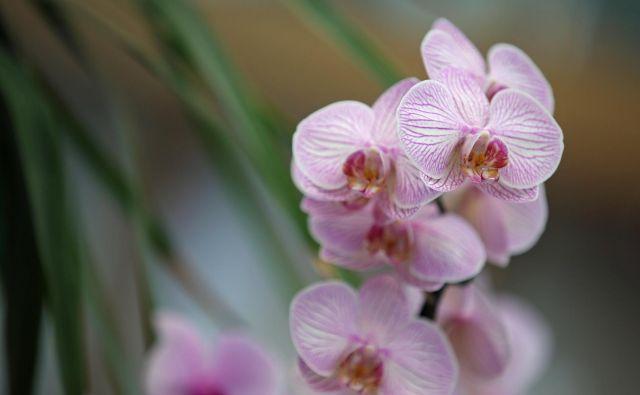 V svetu se od sobnih lončnic proda največ falenopsisov. FOTO: Tadej Regent, Delo