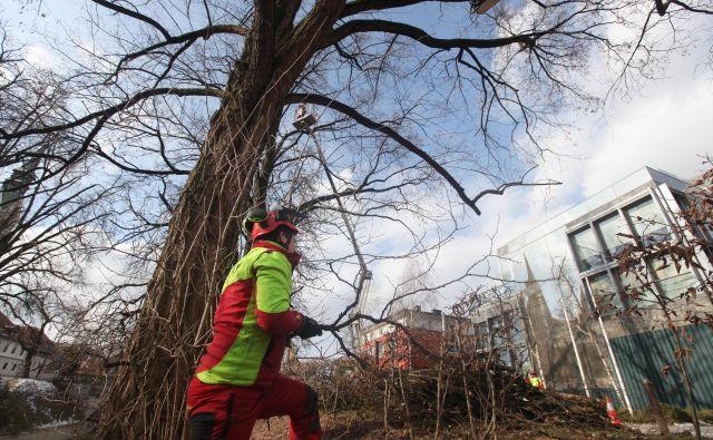 Obrezovanje dreves mora biti opravljeno strokovno. FOTO Mavric Pivk/Delo