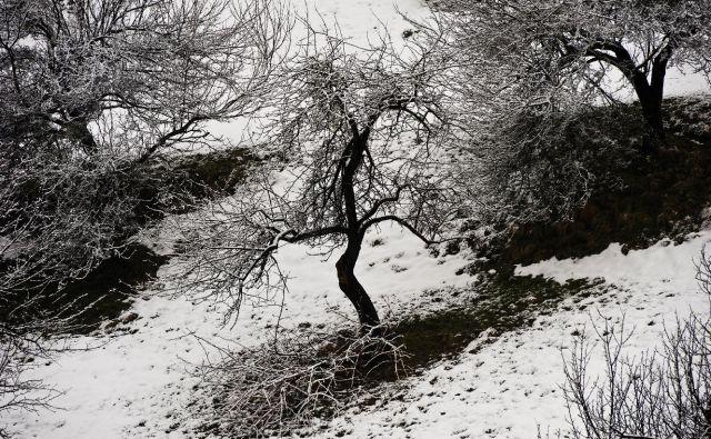 Stara jablana v Kozjanskem parku. FOTO: Kozjanski park/Hrvoje Oršanič