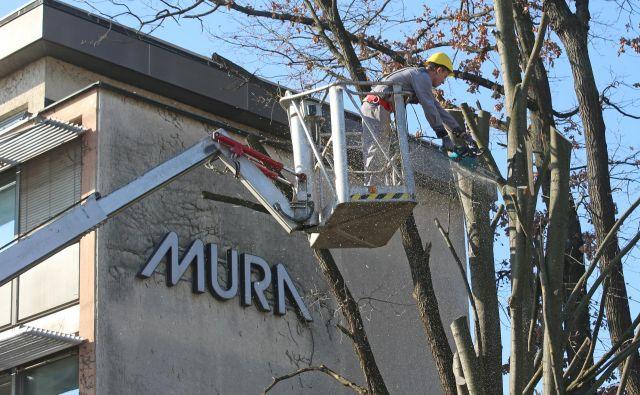 V okolici nekdanje Murine upravne stavbe podirajo drevje in pripravljajo prostor za avtomobile družbe Avto Škafar. Fotografije Tadej Regent