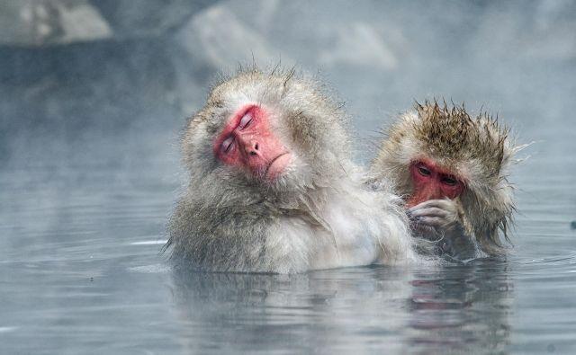 Snežne opice se ne namakajo le v termalnih vrelcih, ampak tudi v lastnih hormonih sreče. Foto Shutterstock