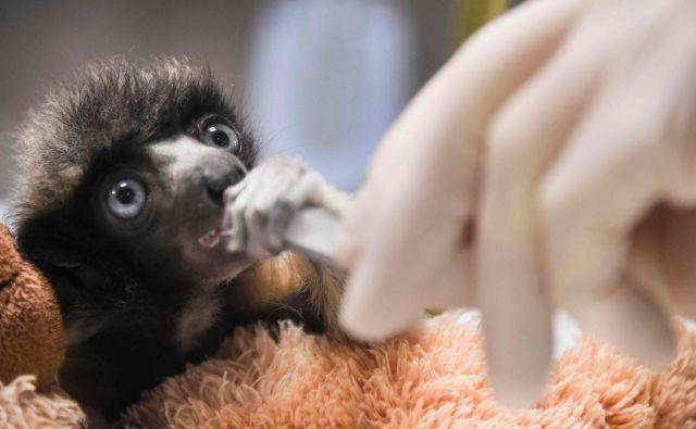 Veterinar hrani mladička sifake, redke vrste lemurjev iz Madagaskarja v živalskem vrtu v francoskem Besanconu. Leta 2018 je bilo v 7 živalskih vrtovih le še 6 žensk izmed 20 posameznikov. Foto Sebastien Bozon Afp