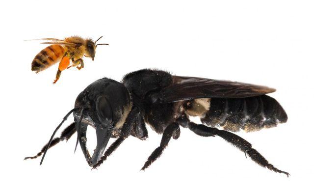 Prikaz največje čebele na svetu Megachile pluto, ki je približno štirikrat večja od evropske čebele, potem ko je bila po 40. letih spet odkrita na indonezijskih otokih Severni Moluki. V 19. stoletju jo je odkril britanski naravoslovec Alfred Russel Wallace in je poimenoval leteči buldog. V divjini je niso videli od leta 1981 vse do letos. Foto Clay Bolt Afp