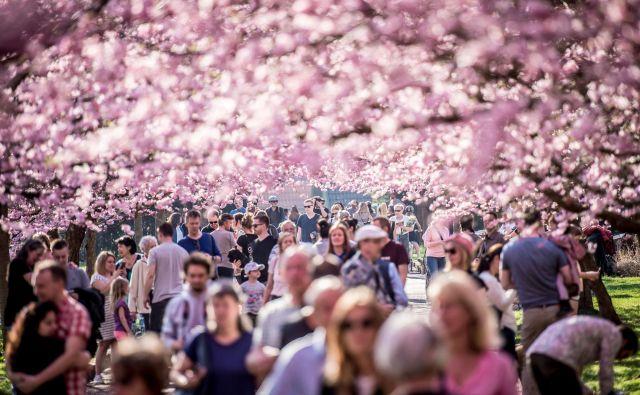 Objavljene so napovedi, zemljevidi z razporedom cvetenja po območjih in parkih so izrisani, gostinci so v polni pripravljenosti. FOTO: Reuters