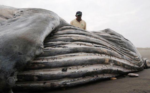 Znanstveniki se sprašujejo, kaj je kit v tem obdobju delal ob obali Brazlije, saj bi moral biti več tisoč kilometrov stran na jugu pri Antarktiki. FOTO: Reuters