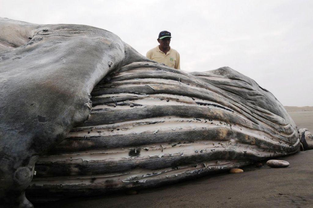 Truplo kita grbavca našli ob ustju Amazonke