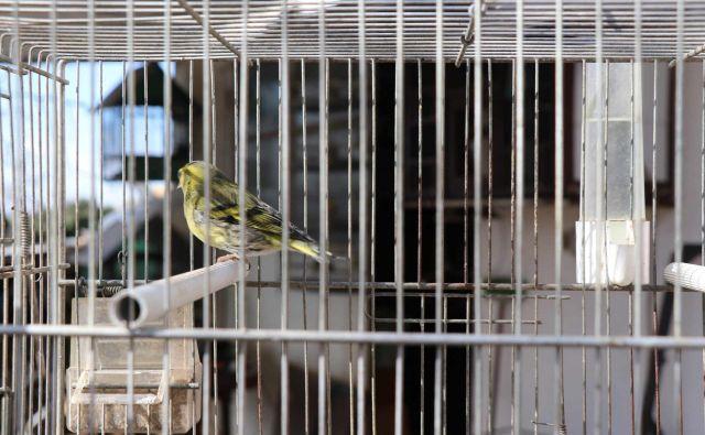 Koprčani so zatrdili, da naj bi k osumljencu pogosto prihajali ljudje z Italijanskimi registrskimi tablicami na avtomobilih, katerim naj bi ptiče prodajal. FOTO: PU Koper