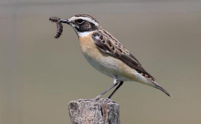 Število repaljščic, ene od vrst ptic kmetijske krajine, se je v obdobju 2008–2018 zmanjšalo za 70 odstotkov. FOTO: Alen Ploj