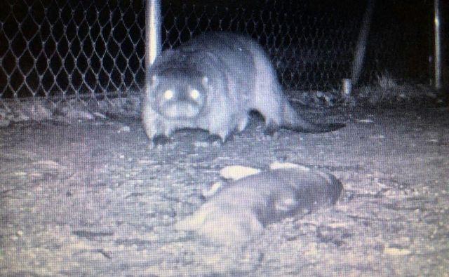 Vidra je imela v ribogojnici na Tolminskem pravo gostijo, a je dolgo niso opazili. Foto Faronika