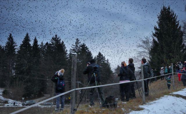 Ko pinožam pozimi zmanjka hrane, odletijo proti jugu. Vsaj nekaj ptic tako vsako leto pride do Slovenije, približno vsakih deset let pa nas obiščejo v spektakularnem, milijonskem številu. FOTO: Davorin Tome