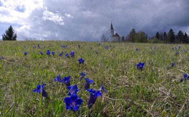 Za ohranitev Clusijevega svišča na Lovrencu so zaslužni predvsem planinci. FOTO: Vinko Šeško