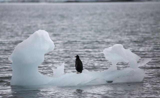 Antarktične vrste imajo zaradi specializacije zelo malo manevrskega prostora za prilagajanje posledicam podnebnih sprememb. FOTO: Alexandre Meneghini/Reuters
