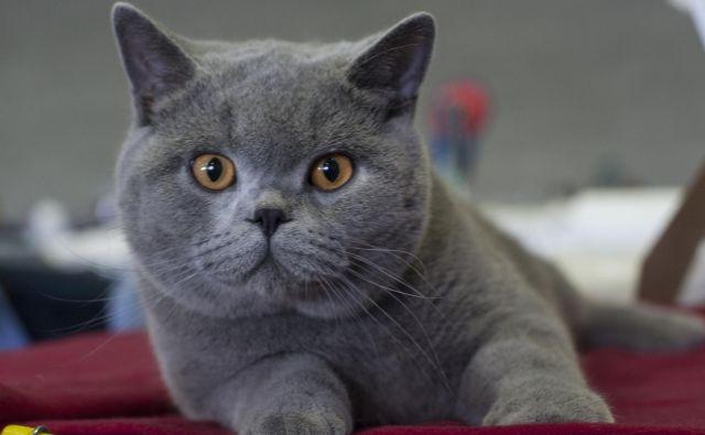 Kratkodlake britanke izvirajo iz Velike Britanije. Gre za najstarejšo britansko pasmo. Je potomka mačk, ki so jih v Britanijo prinesli Rimljani in nato križali z mačkami, ki so že naseljevale otok.Foto Dejan Mijović