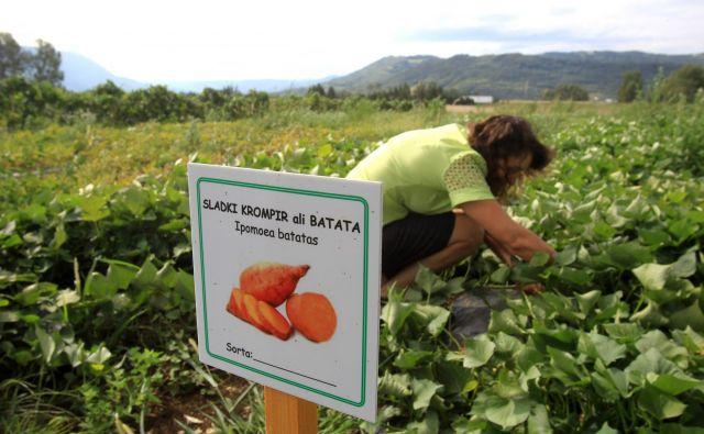 Sladki krompir bi lahko pomenil dodatni zaslužek za kmete v Vipavski dolini. Foto Blaž Samec
