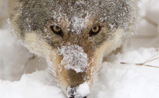 Živali znajo prav tako kot mi razmišljati o prihodnosti, in kot kaže primer volkulje, tudi načrtovati. Foto Reuters