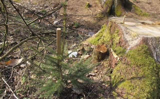 Kaj napraviti z nekaj centimetrom velikim drevescem? FOTO Borut Tavčar