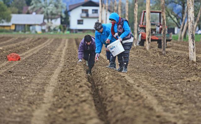Nova hmeljišča v Mislinjski dolini rastejo kot gobe po dežju. FOTO: Tadej Regent