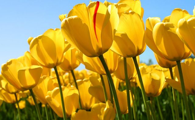 Tulipani so otroci sonca, potrebujejo sončno, odcedno rastišče in pravi čas za sajenje, da nato spomladi zacvetijo. FOTO: Reuters