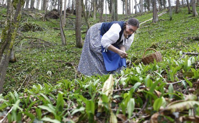Čemaž ni samotarska rastlina. Ponavadi raste v obsežnih kolonijah. Foto Aleš Černivec