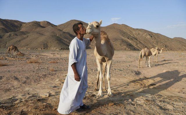 Šejk Salama ob naključnem srečanju z eno od svojih kamel sredi Vzhodne puščave, na poti do najdbišča ene najstarejših meniških naselbin. FOTO: Matjaž Kačičnik