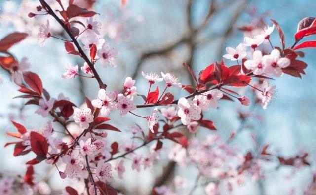 Češnje imajo za Japonce velik simbolni pomen, češnjev cvet je njihova nacionalna cvetlica, simbol upanja in prenove. Foto: Wochit