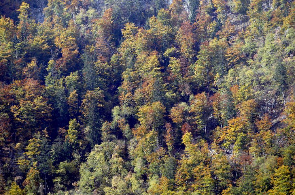 Med podiranjem drevesa umrl 54-letnik, nanj je padla veja