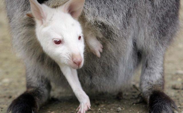 Komaj skoteni albino mladiček kenguruja. Foto Alessandro Garofalo Reuters