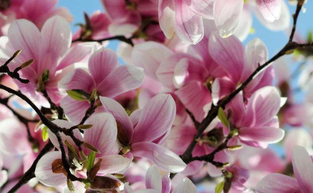 Našli so fosilne ostanke magnolij, ki so stari dvajset milijonov let. Zemljo so naselile pred sto milijoni. V kredi. FOTO: Shutterstock