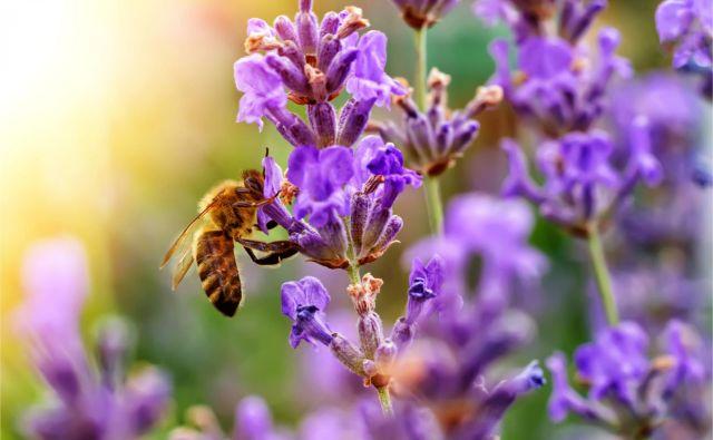 Na Čebelarski zvezi Sloveniji pojasnjujejo, da lahko čebelam pomaga vsak. FOTO: Shutterstock