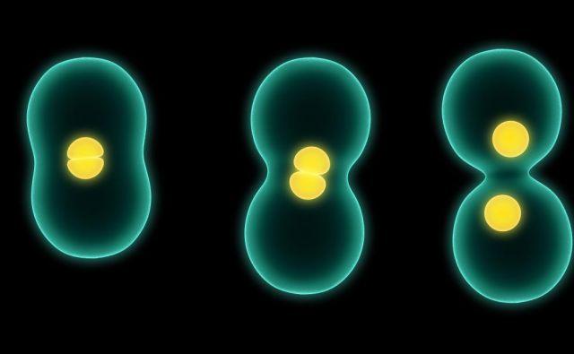 Običajne celice preživijo nekaj deset delitev. FOTO: Shutterstock