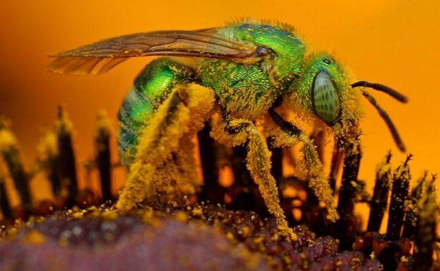 Čebele iz družine Halictidae označujejo tudi kot znojne. Privlači jih človeški pot. FOTO: Wikipedia