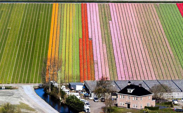 Pogled na polja tulipanov v nizozemskem mestu Keukenhof, znanem tudi kot »vrtovi Evrope«. Foto Remko De Waal Afp