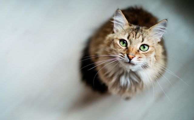 Ste že ugotovili, kaj vam hoče povedati vaša mačka? FOTO: Shutterstock