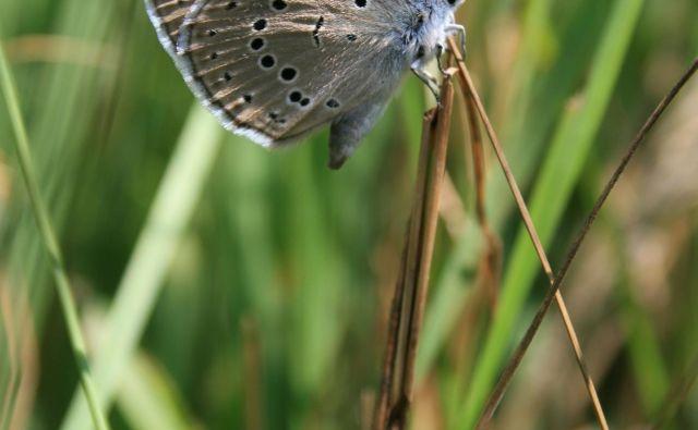 Preživetje metulja z bledo modrimi krili je odvisno od ene same vrste rastline in ene same vrste mravlje. FOTO: Projekt Ljuba<br />