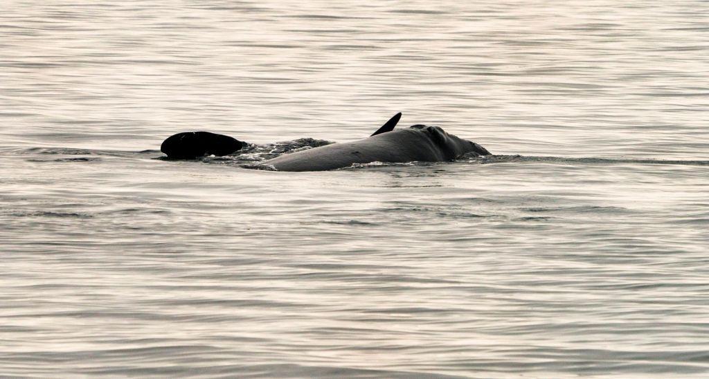 Opazili mladičke izjemno ogrožene vrste kitov
