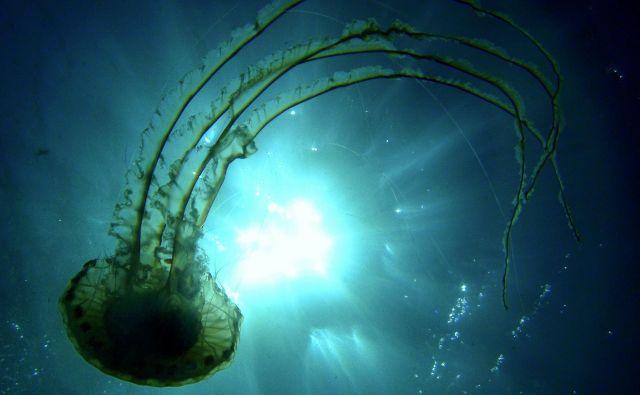 V marsikaterem tujem akvariju meduze že predstavljajo, toda za to morajo zanje ustvariti posebne razmere. Če bi jih dali v bazene, kjer so ribe, raki in drugi organizmi, bi v nekaj minutah poginile. Na fotografiji Kompasna meduza, <em>Chrysaora hysoscella</em><em>.</em> FOTO: Irena Frkovič