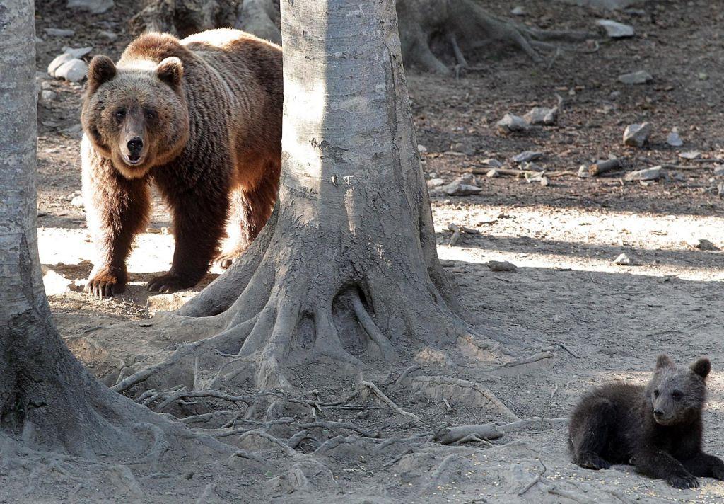 Predstavniki kmetov: odločitev sodišča bo zaostrila konflikte med medvedom in človekom