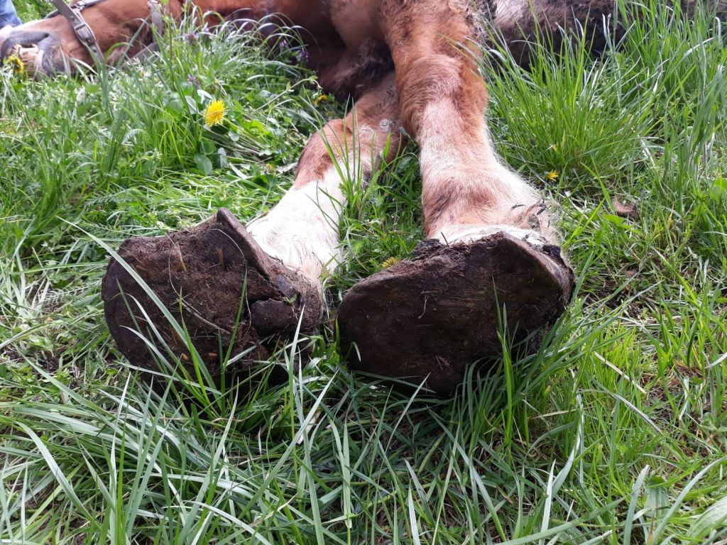 FOTO:Lastnik zanemarjenega konja in bikov veterinarju ni pustil v hlev