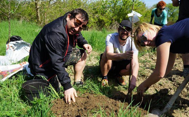 Sajenje sadnega drevja v opuščeni drevesnici v Medlogu. FOTO: Brane Piano